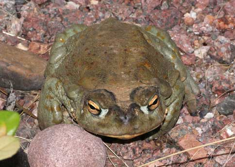toad sonoran desert toad