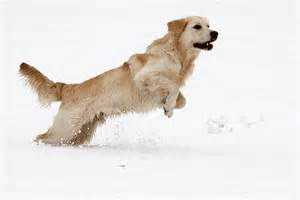 golden running snow
